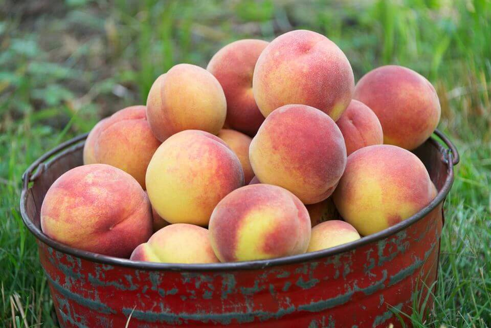 Apricots-Summer Season Fruits