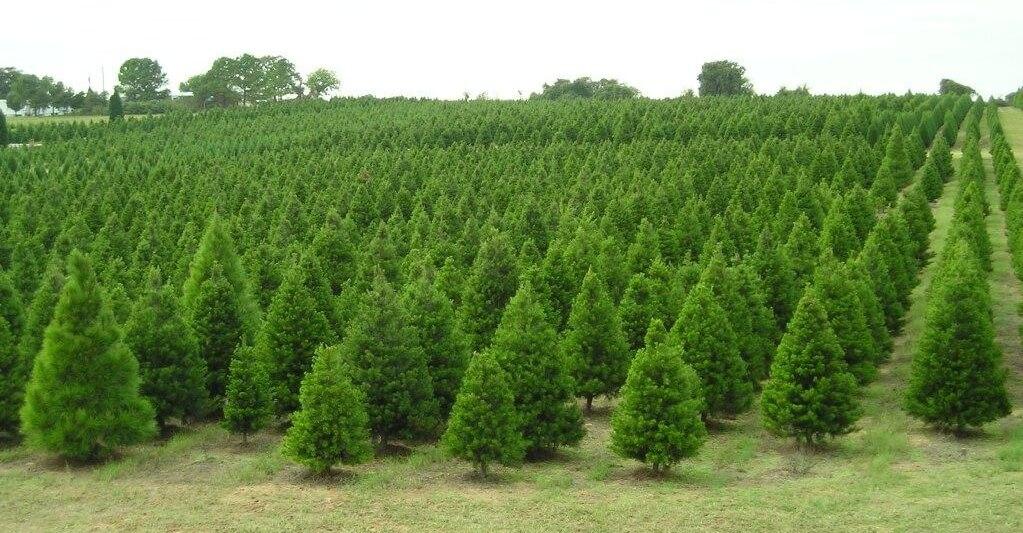 McCarthy Tree Farm