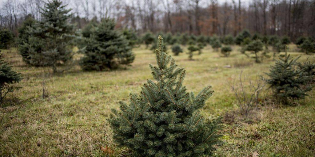 Minnesota Bob Smith's Christmas Trees