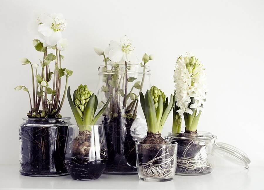 Window Sill Forced Bulbs in Tall Tumblers