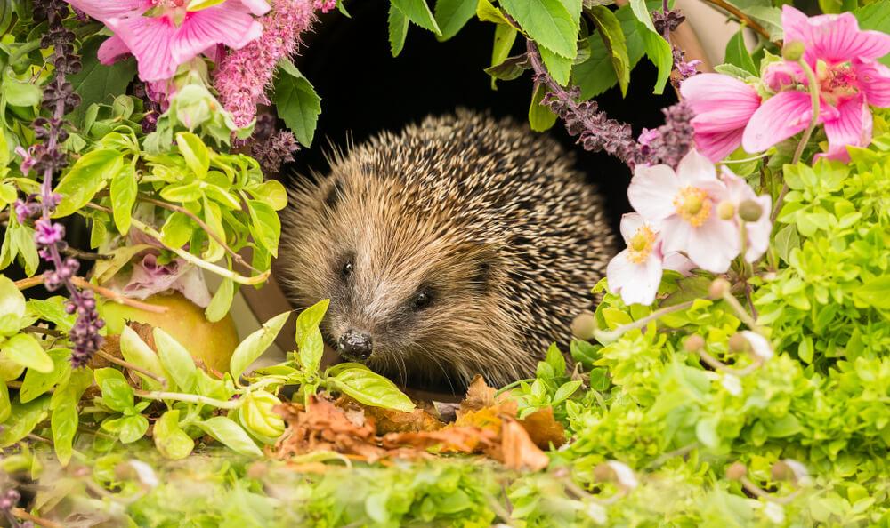 Garden Hedgehog
